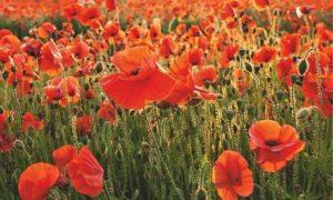 gardens-poppies-006
